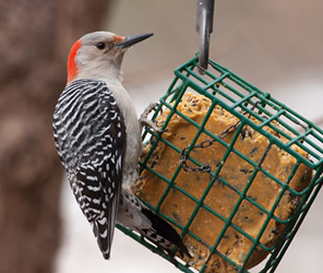 Wild Bird Seed, Suet, Food