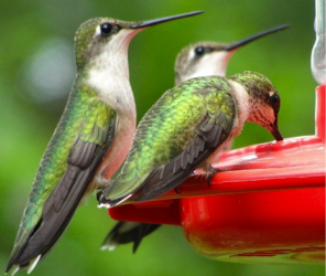 Hummingbird Feeders & Accessories