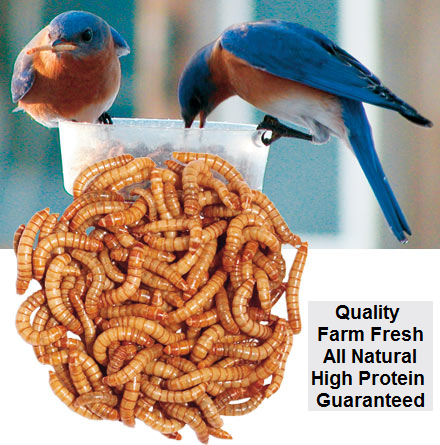 Bulk Mealworms 1000 Count