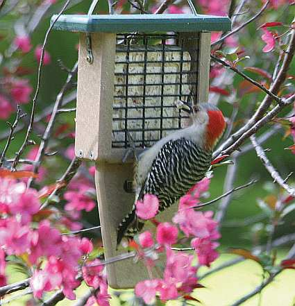Second Nature Single Cake Tail Prop Suet Feeder