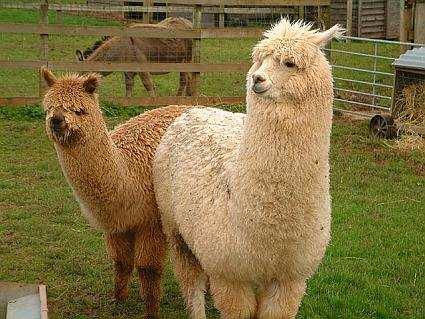 Farm Raised Alpacas