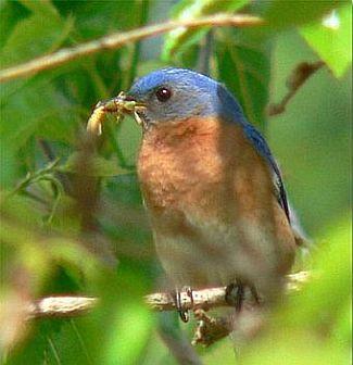 Eastern Bluebird with Worm